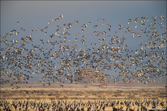 Several thousand ducks take flight as sandhill cranes observe. After things settled down a refuge volunteer explained that a...