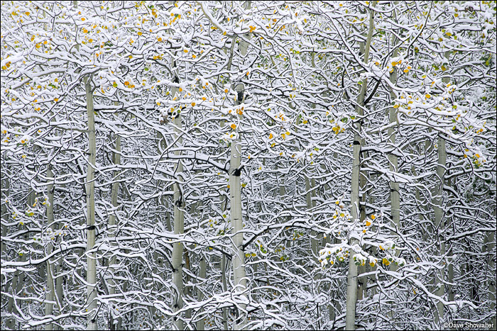 The first snowstorm of the season blankets an aspen forest while autumn leaves cling to the trees.
