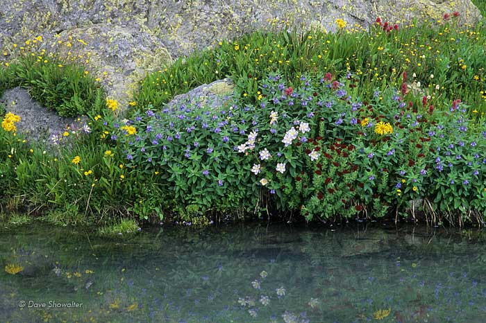 Colorado Blue Columbine, Bluebells and King's Crown are among the wildflowers reflected in a Silver Basin alpine tarn.