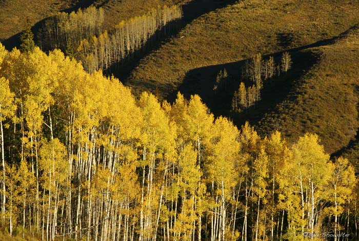 Aspen, Gothic, Gunnison National Forest, photo