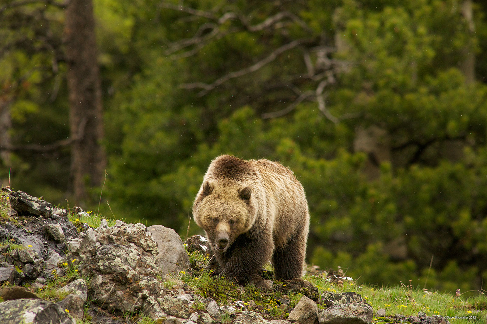 grizzly bear, sagebrush, photo