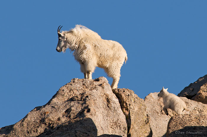 A young mountain goat shows his mountain skills by leaping to the same rock as his mom. This young goat is roughly a month old...
