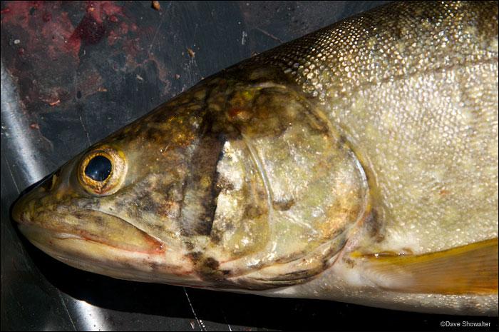 yellowstone lake, yellowstone cutthroat trout, lake trout, photo