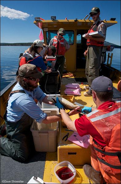 yellowstone lake, lake trout removal, photo