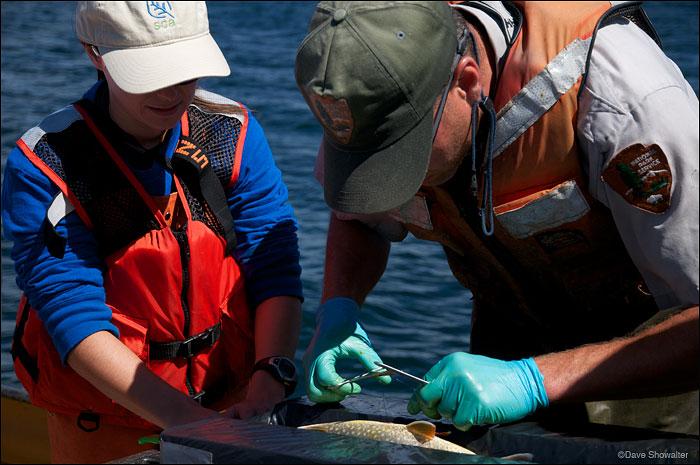 Yellowstone N.P., lake trout removal, photo