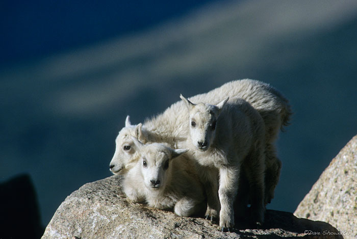 Playful mountain goat kids find their position on a rock in the vast Mount Evans Wilderness Area, CO. Mount Evans is known as...