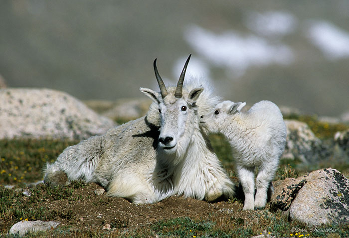 A mountain goat kid appears to kiss his mom well above timerliine on Mount Evans.