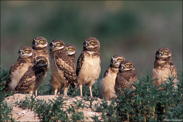 A large brood of burrowing owl chicks survey the Colorado shortgrass prairie for the first time. Broods of this size are...