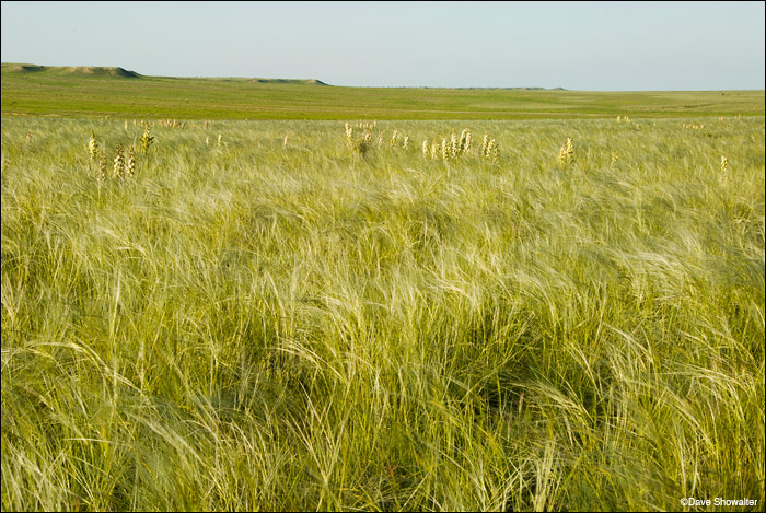 Gazing across open spring grassland in the Timpas, or northern unit of Comanche National Grassland, I recalled stories...