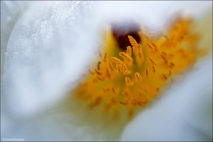 prickly poppy, shortgrass prairie, photo