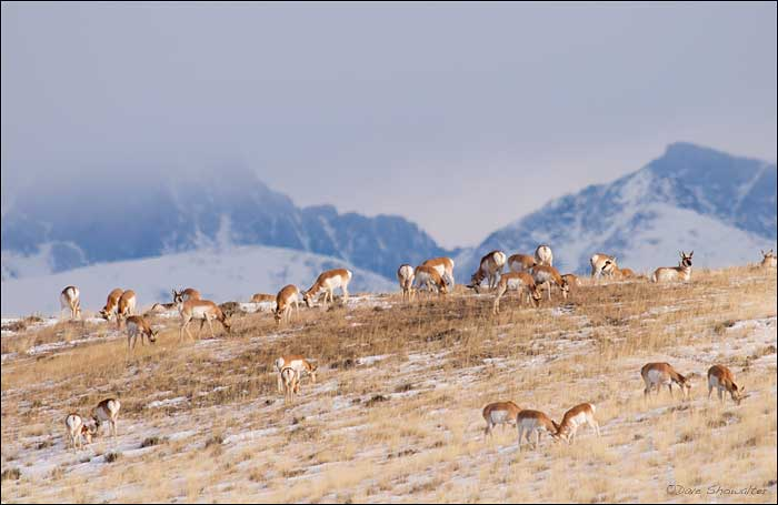 Upper Green River Basin, Grand Teton national Park, pronghorn, photo