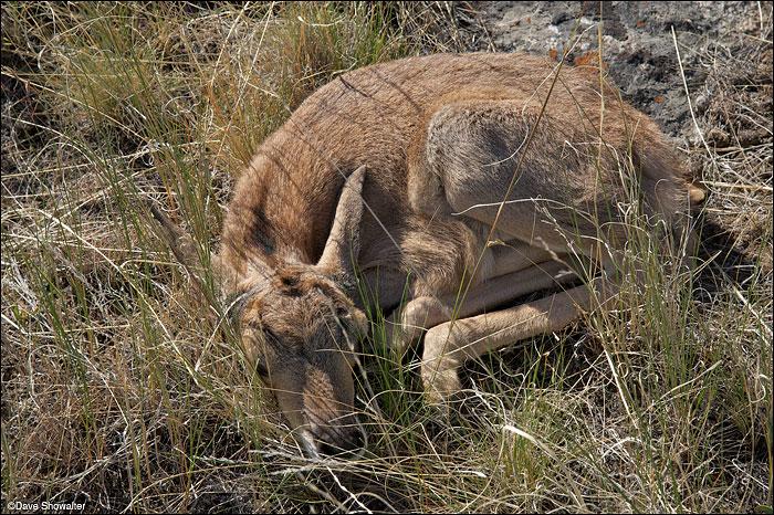 Soda Lake Wildlife Management Area, audubon rockies bioblitz, pronghorn fawn, photo