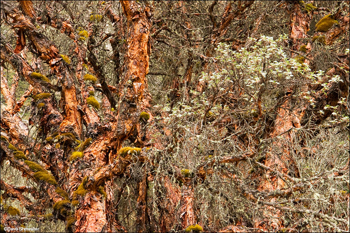 Quenal trees, an icon of Huascaran National Park, form interesting patterns.