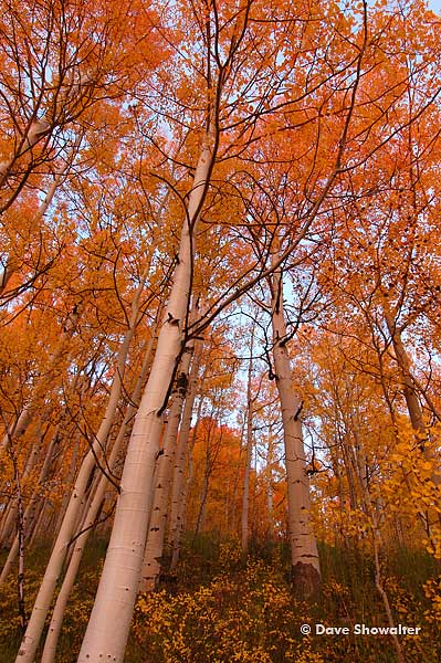 Red aspen trees at sunset along the Ohio Pass road. Aspen clones of a single plant will change color at the same time and in...