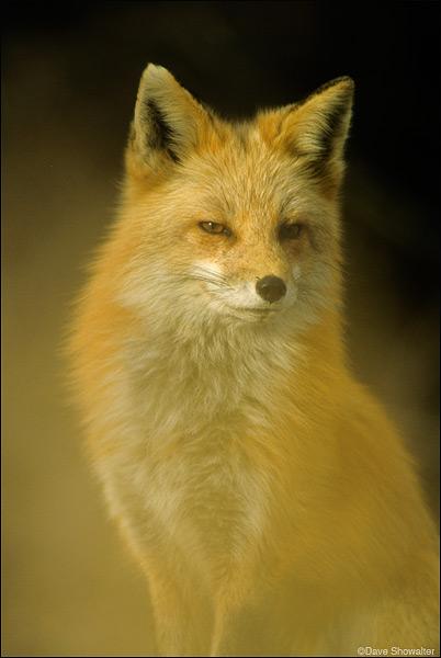 Red Fox, Wheat Ridge Greenbelt, photo