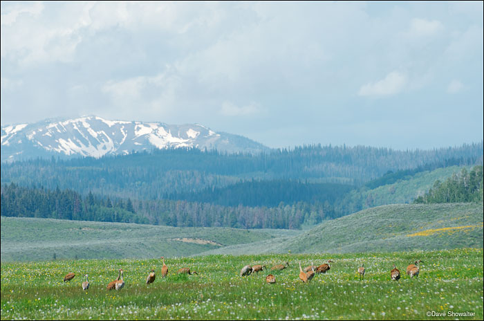 Sandhill cranes feed in a summer meadow with a backdrop of the mighty Wyoming Range. Greater sandhill cranes mate, nest...