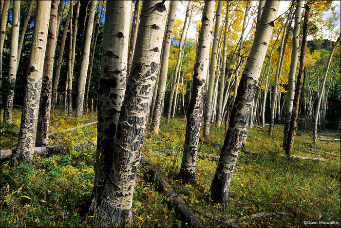 aspen, Rocky Mountain National Park, photo