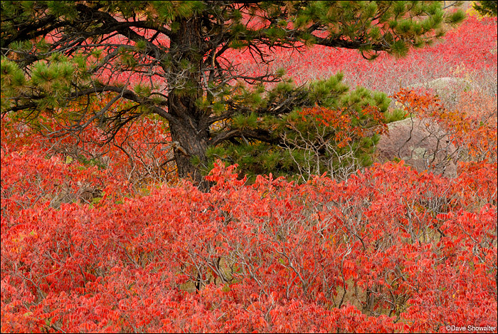 """A sea of blazing red sumac surrounds a single ponderosa pine along the Mesa trail. This image required """"ladderpod"""" -..."""