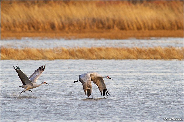 A pair of sandhill cranes take flight in a Bosque Del Apache wetland. Bosque is an important waterfowl refuge and winter range...