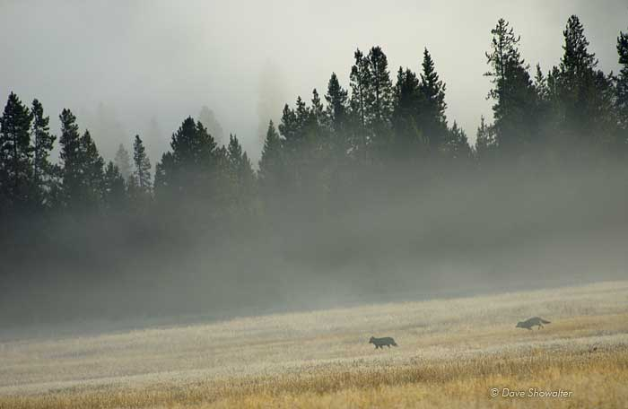 Wolves In Foggy Meadow Yellowstone National Park