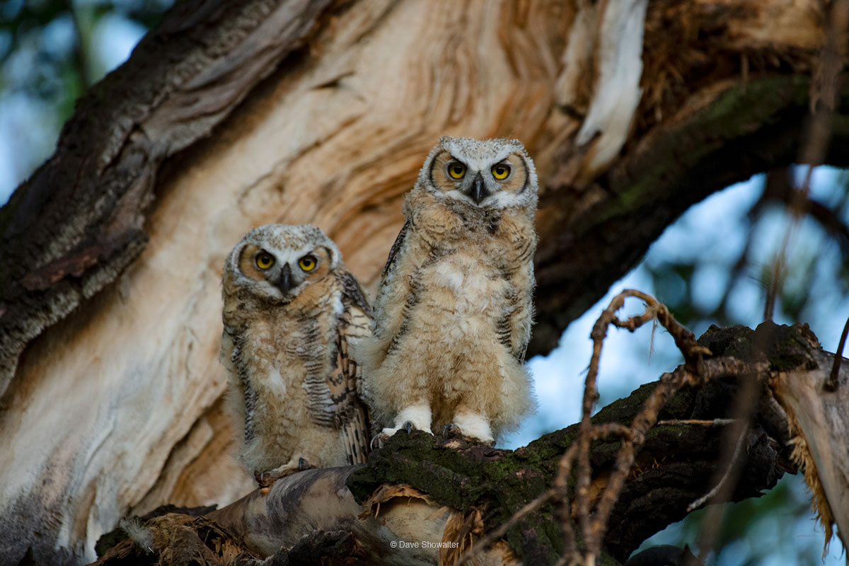 We watched these juvenile Great horned owls in a high nest at the top of a poplar tree, gradually becoming more visible and precocious...