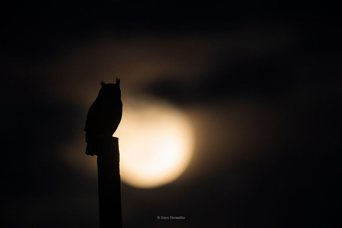 Great horned owls hunt an equestrian park within walking distance from home, and on a full moon night, this GHO lined up with...