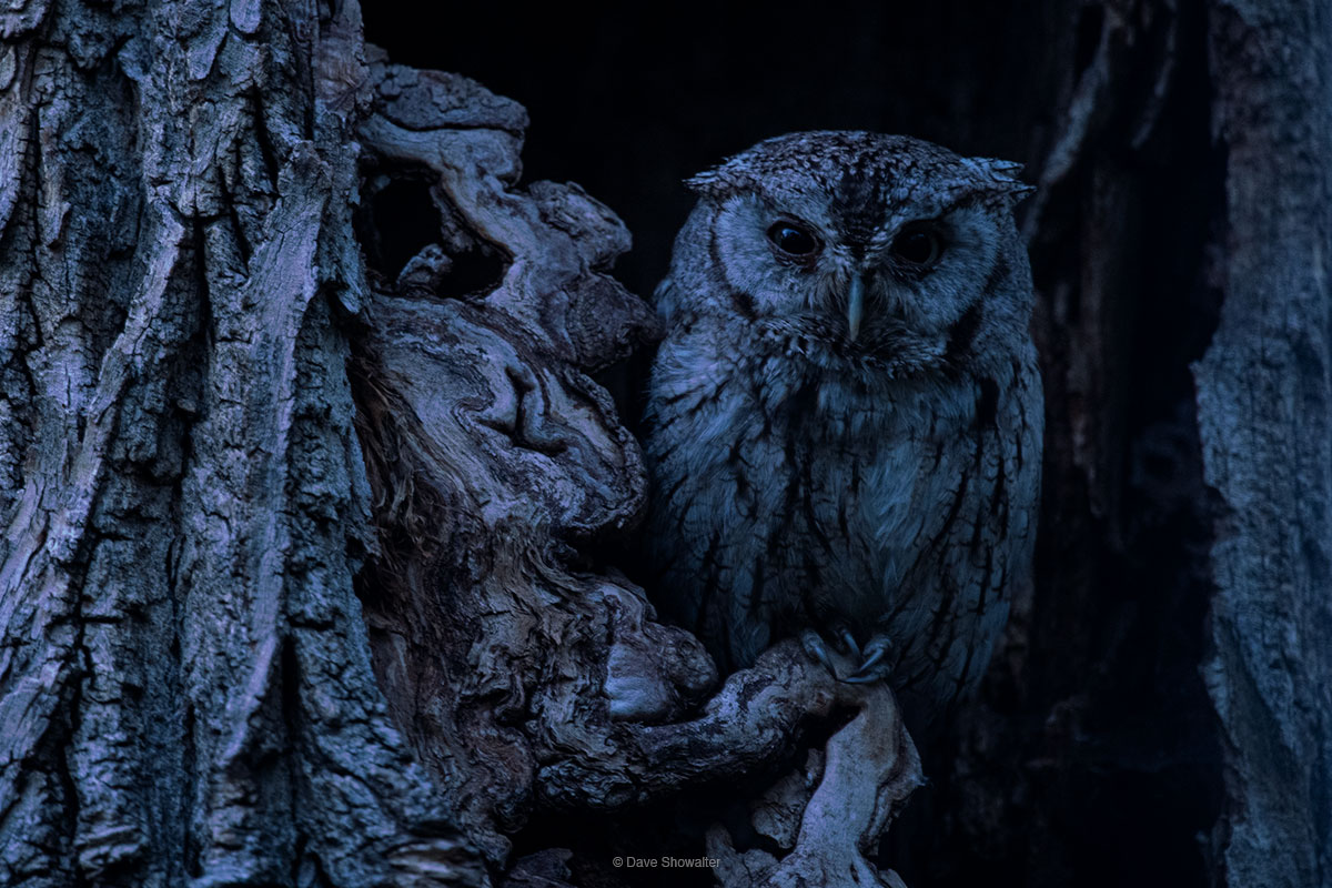 As light fades to darkness, a western screech owl becomes more animated and moves to the edge of his cottonwood tree cavity...