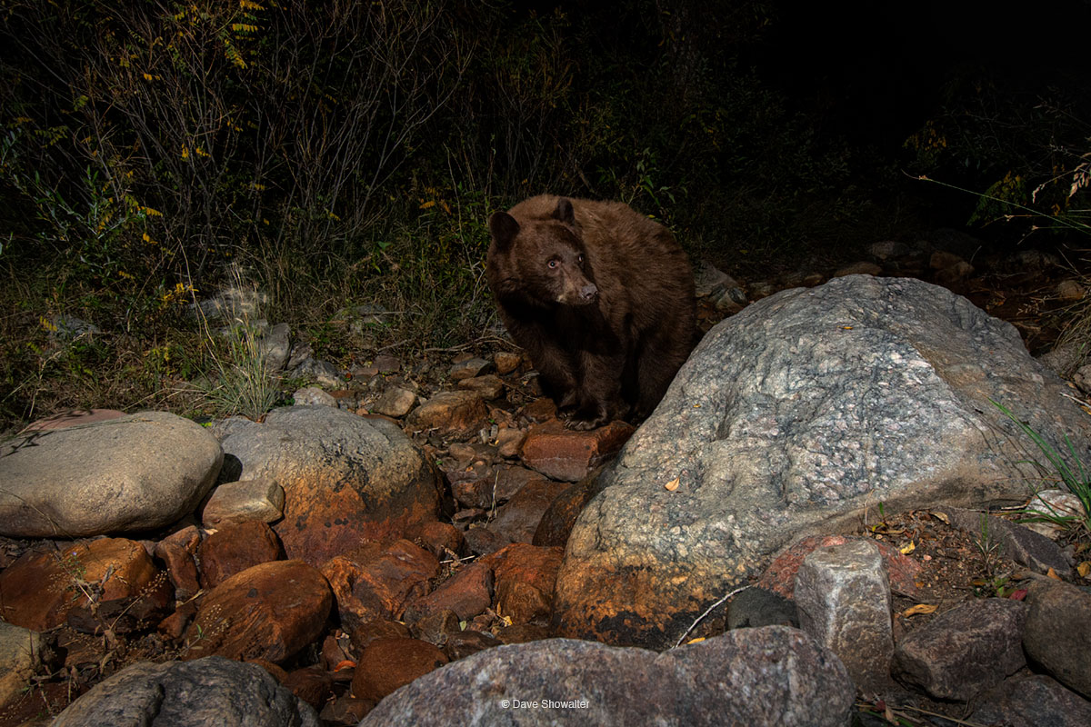 A chocolate-colored black bear sow travels a dry creekbed in late summer, a riparian highway secluded from the human rat race...