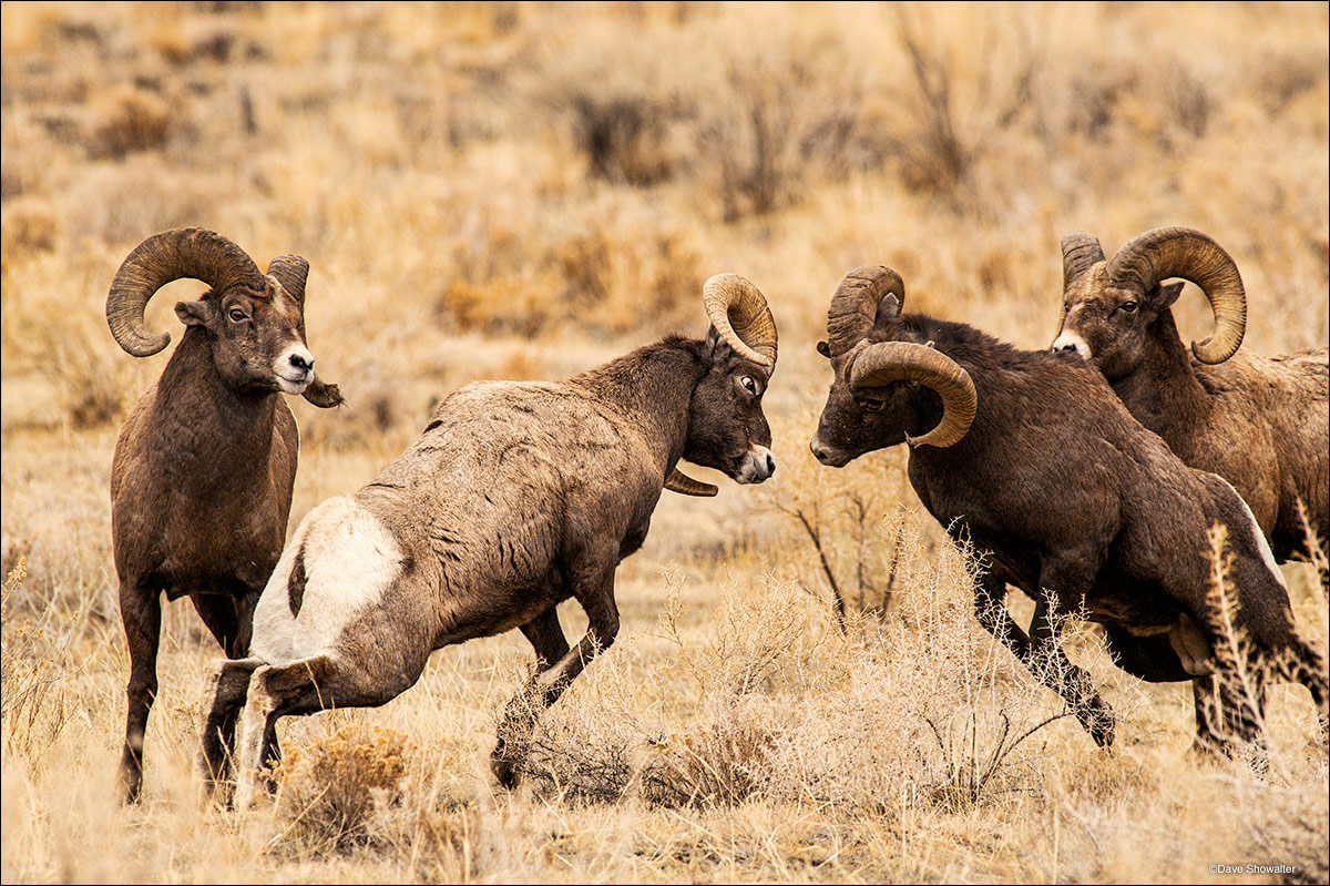 Ram Big Horn >> Fighting Bighorn Rams : Shoshone National Forest, Wyoming : Dave Showalter Nature Photography