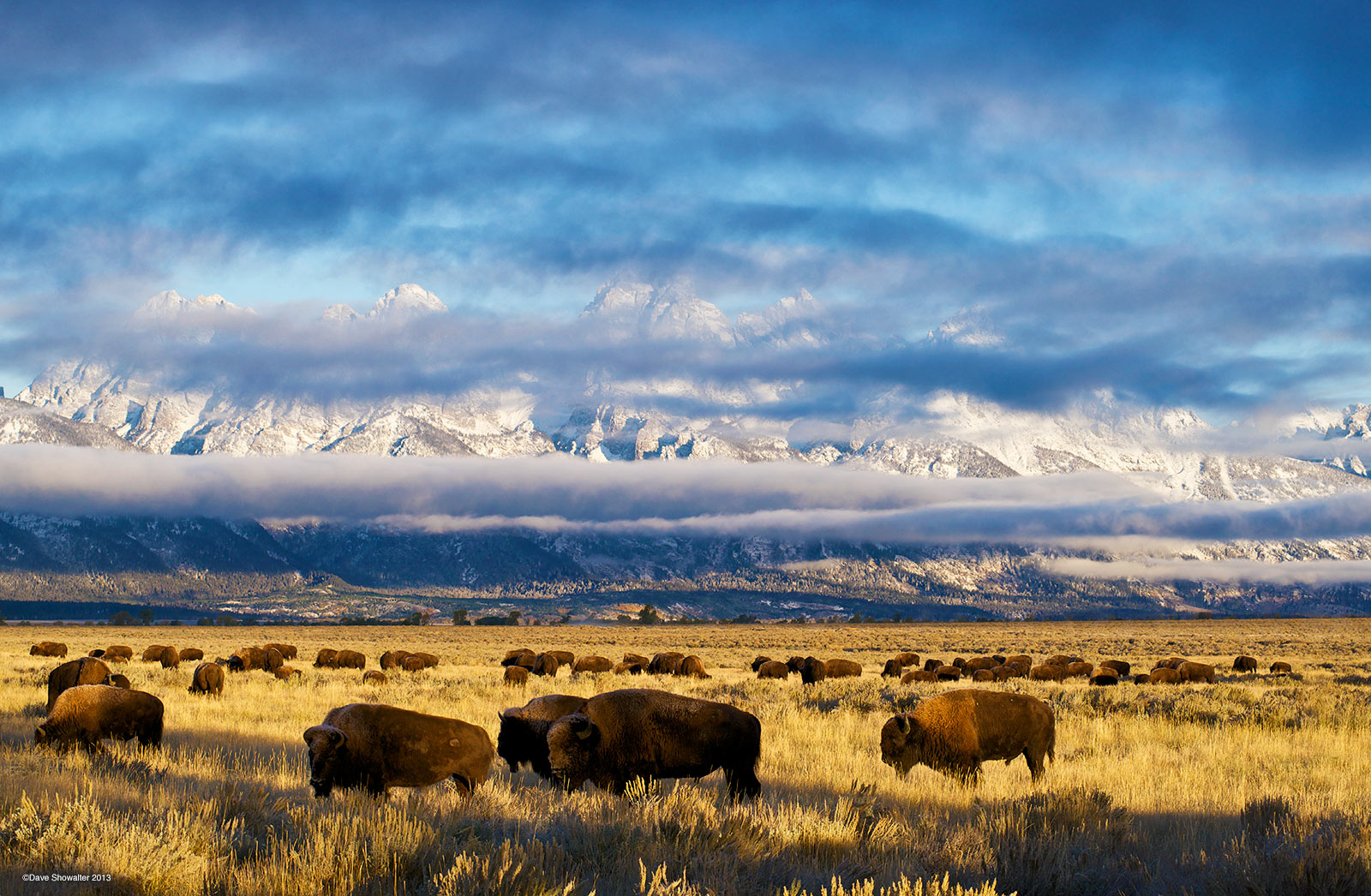 Bison graze on Antelope Flats golden autumn grass backed by the partially hidden Teton Range. In early October, wildlife prepare...