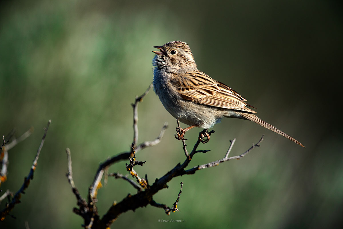 A Brewer's sparrow sings his beautiful melody from a sagebrush top during breeding season in eastern Washington state. Brewer...