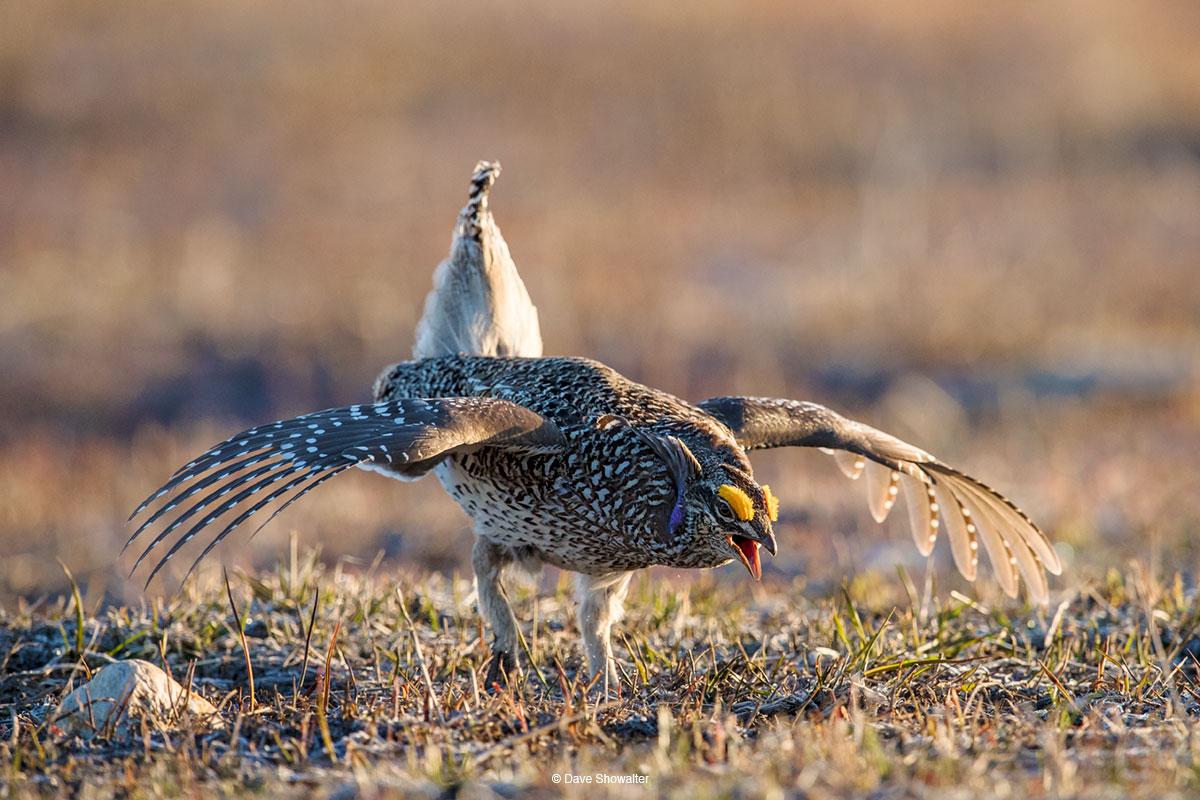 sharp-tailed grouse, lek, photo