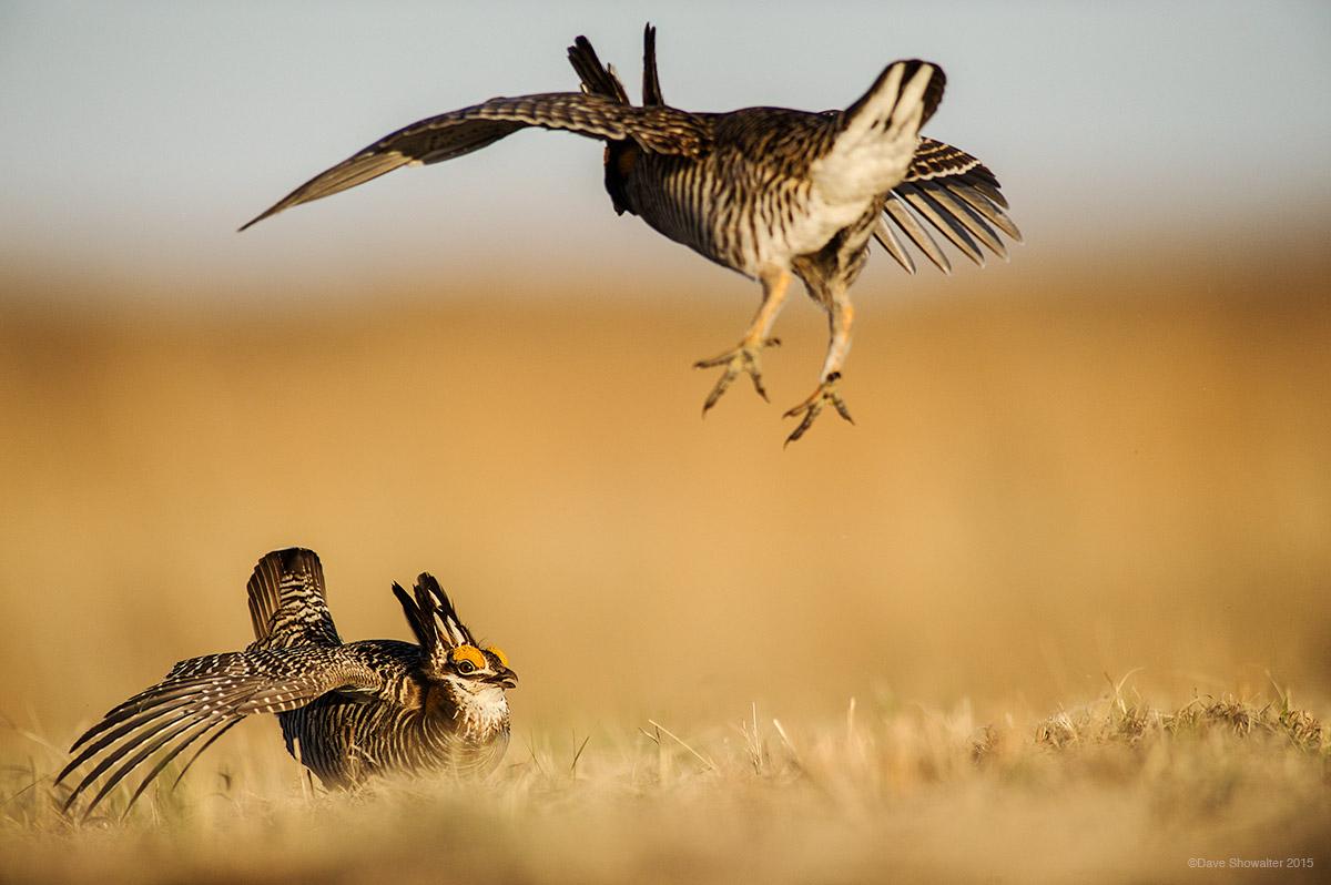 great prairie chicken, Nebraska Sandhills, photo