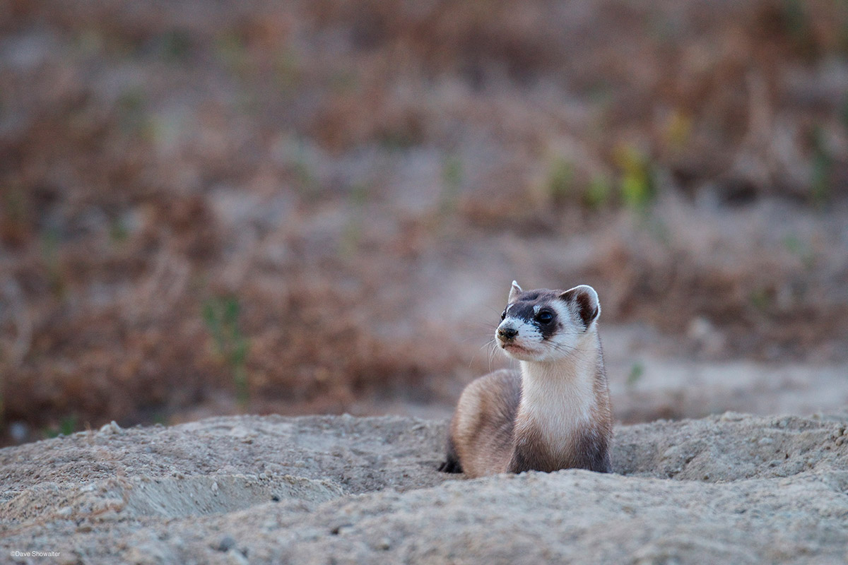 black-footed ferret, prairie dog, photo