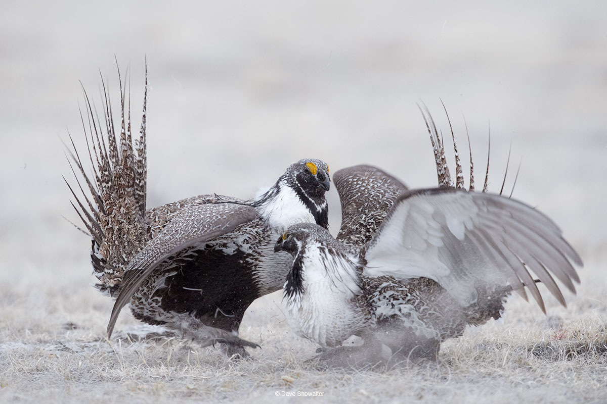greater sage grouse, lek, photo