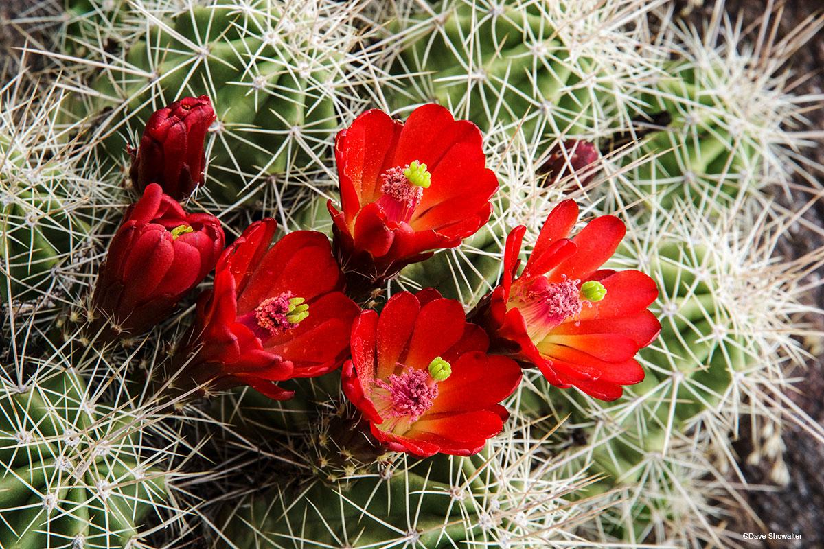 claret cup cactus, big dominguez, photo
