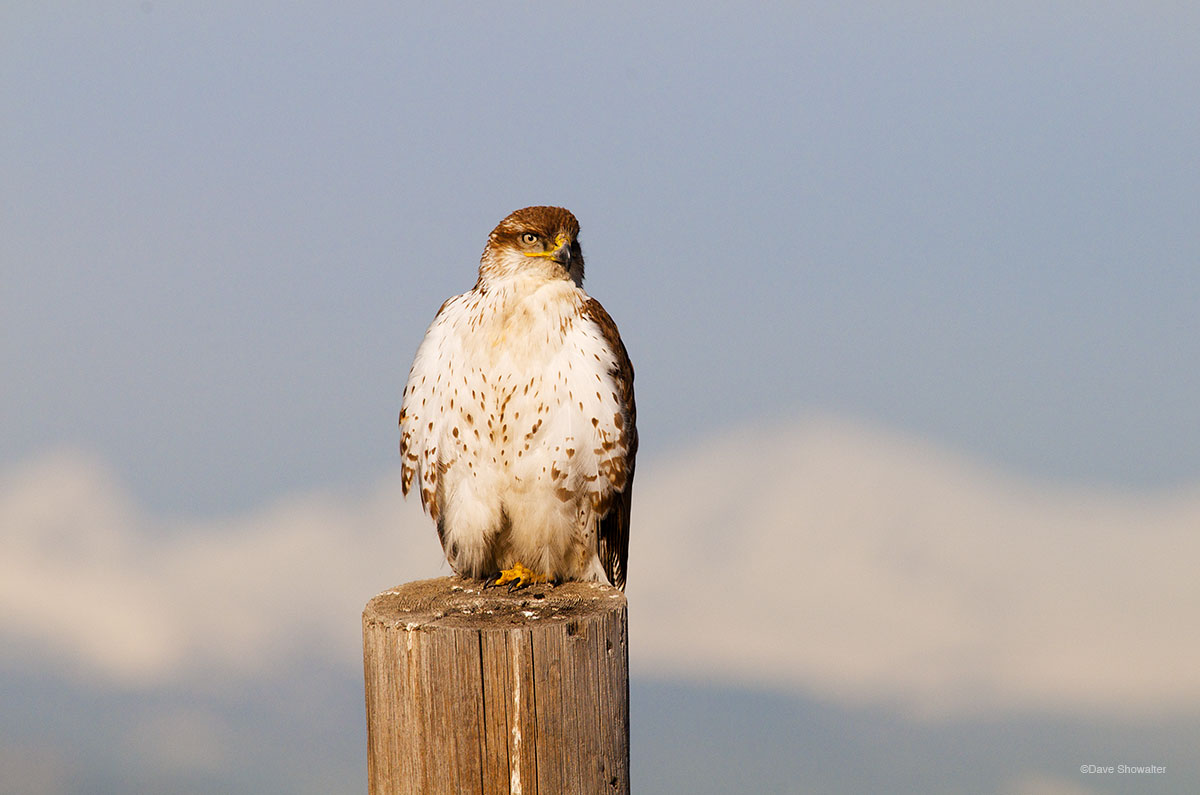 ferrugiouns hawk, prairie, photo