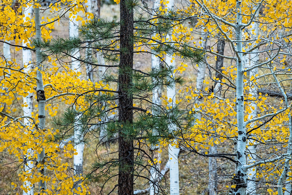 A single ponderosa pine in a cluster of autumn aspen clones on the Grand Canyon's North Rim. The ponderosa pine ecosystem between...