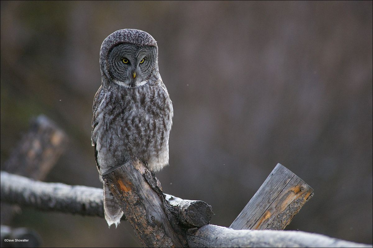 A great gray owl hunts from a ranch fence in Jackson Hole. Although considered uncommon, great grays can be spotted anytime of...