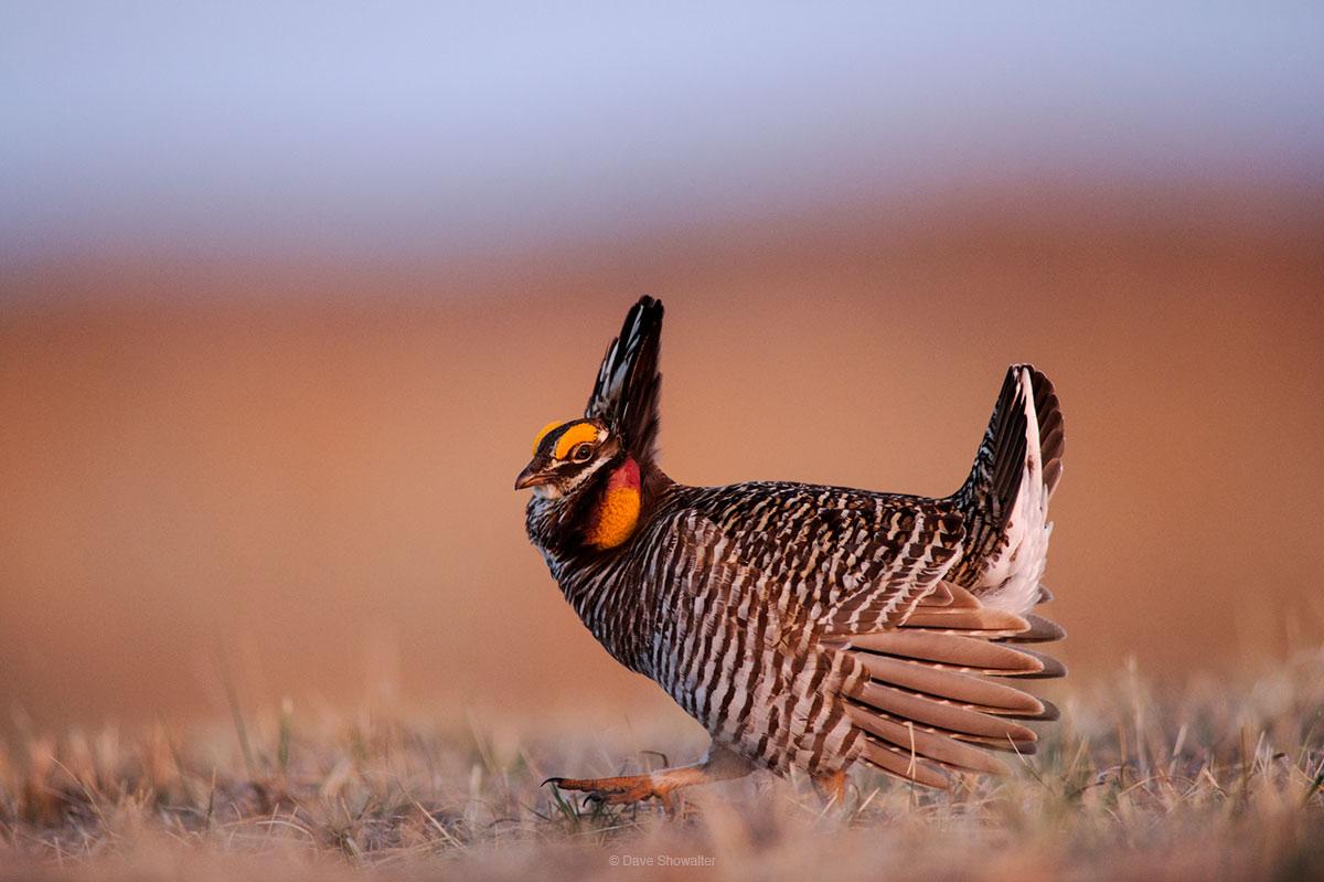 greater prairie chicken, calamus outfitters, photo