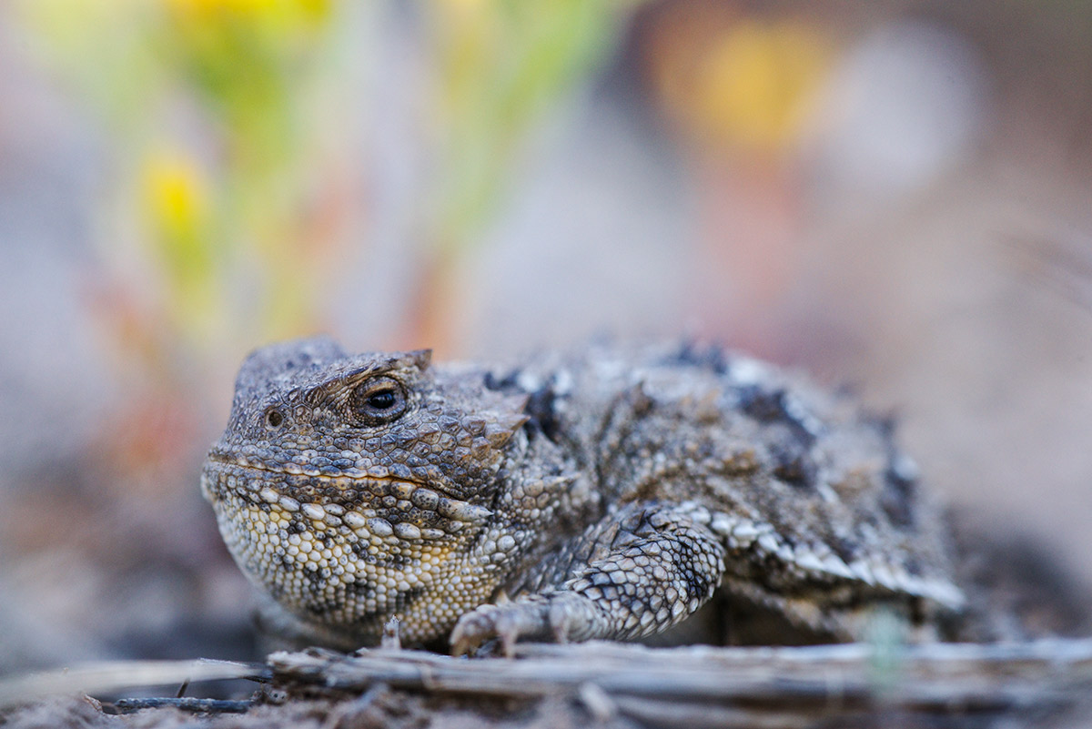 "Greater short-horned lizards, also miscalled ""horny toads"" are native to the sagebrush ecosystem, living in semi-arid plains..."