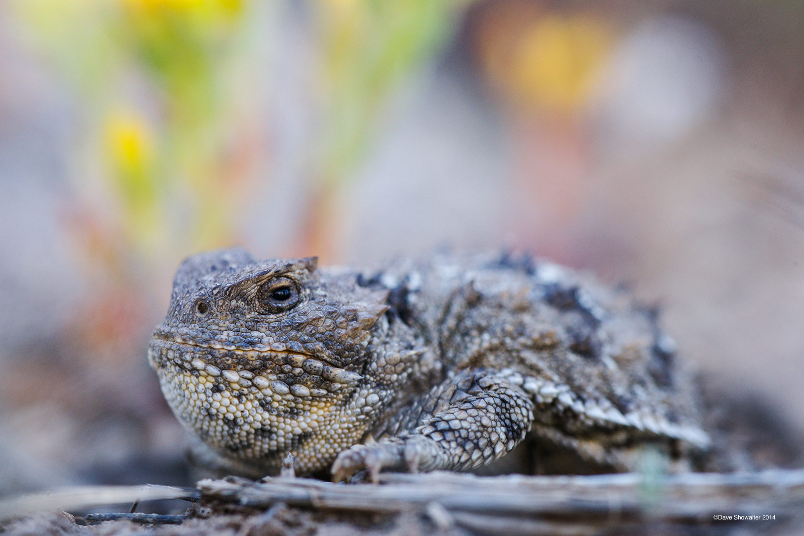 shirley basin, greater short-horned lizard, photo