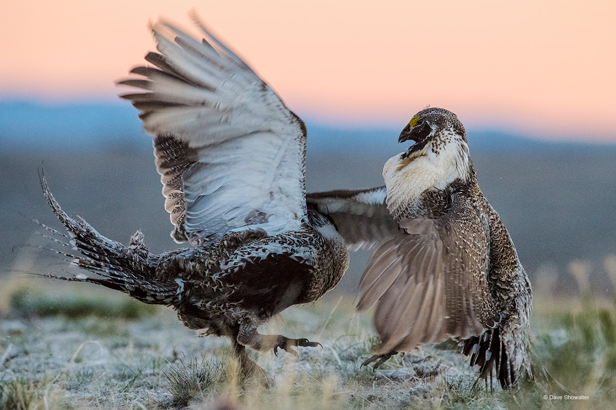 greater sage grouse,  American west, photo