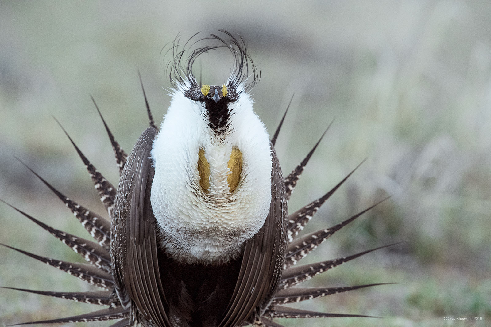 Greater Sage-grouse, lek, photo