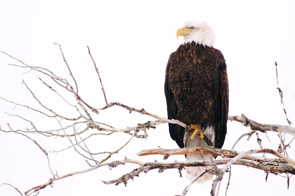 Grand Teton National Park, Wyoming, bald eagle, raptors, photo