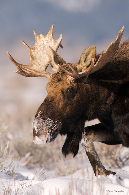 moose, Kelly, Wyoming. Antelope Flats, photo