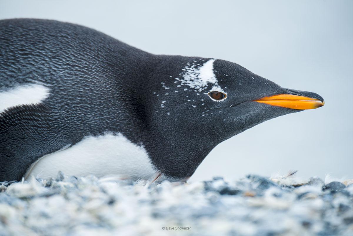 Isla Martillo, gentoo penguin, photo
