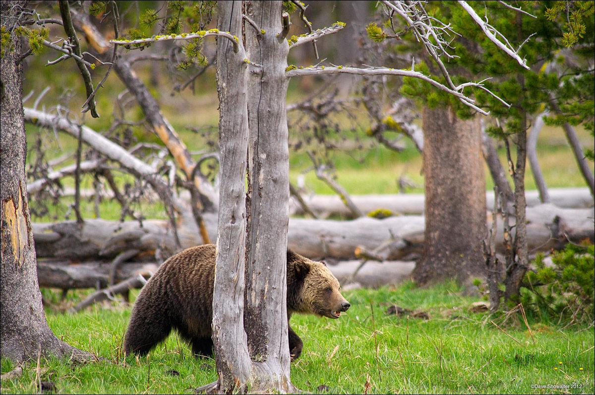 grizzly bear, gibbon meadows, photo