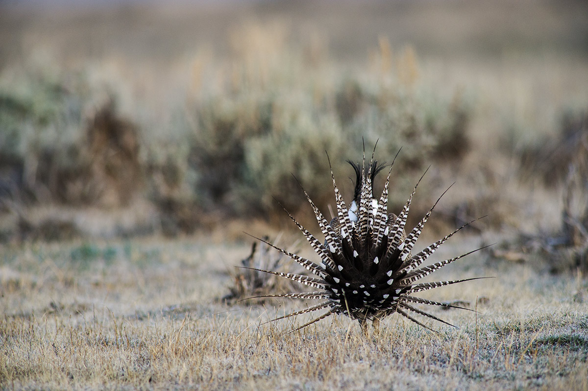 This male Gunnison Sage-grouse displays for a nearby female while the rearview shows two important characteristics of the imperiled...