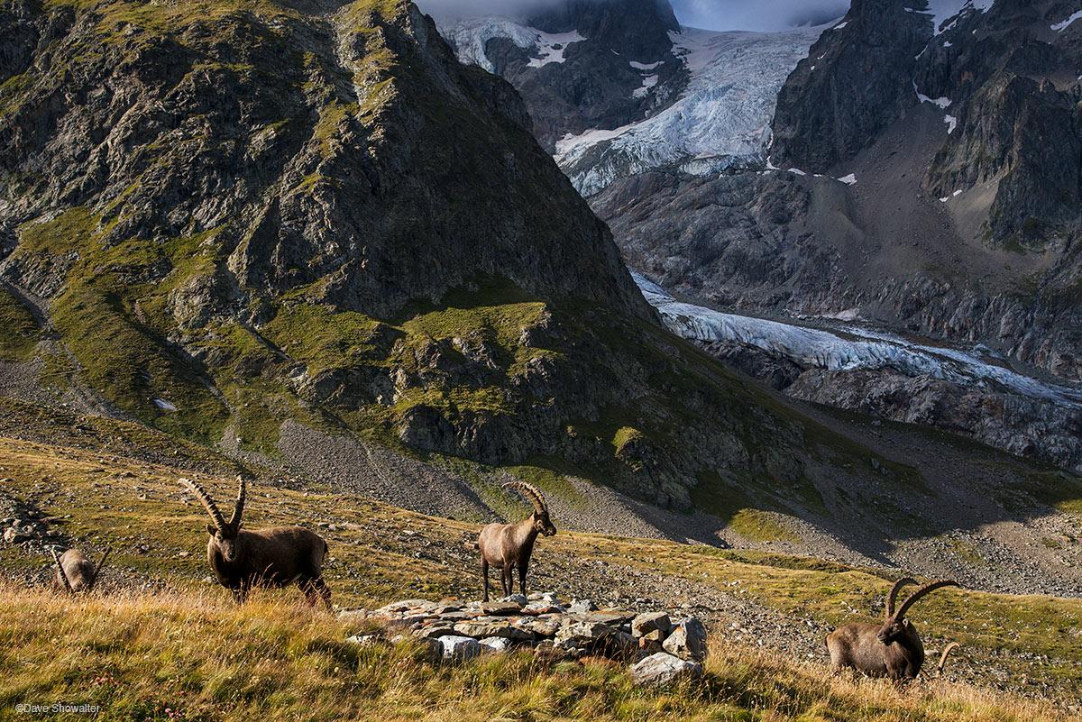 ibex, alps, photo